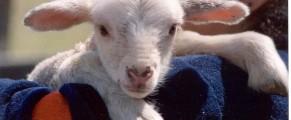 lamb#1