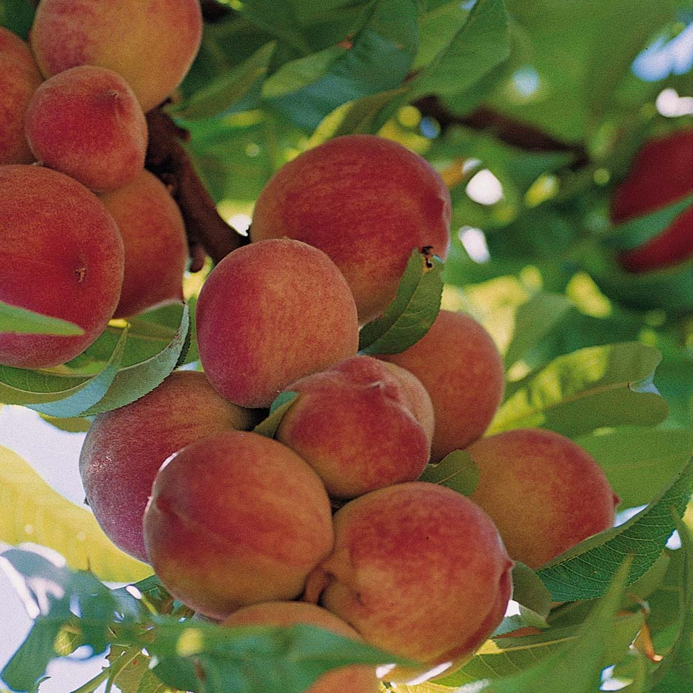 A right belief about god 6 more contemplations a for The peach tree