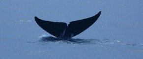 whaletail#1