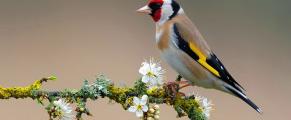 Americangoldfinch#1