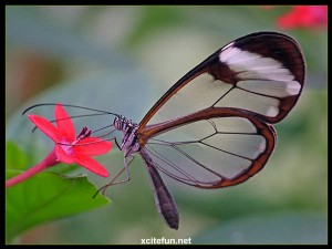 glasswing#3
