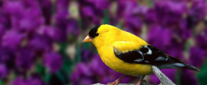 Americangoldfinch#2