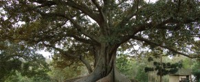 figtree#3