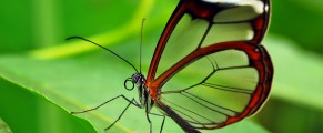 glasswing#1