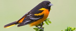 baltimoreoriole#5