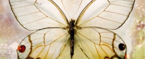 glasswing#5