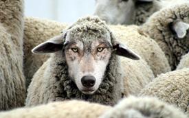 wolfsheep#1