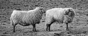 sheep#22