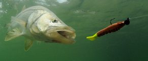 snook fish going after lure during fishing trip