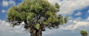 olivetreeinJerusalem