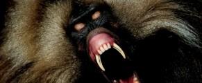 baboon#1