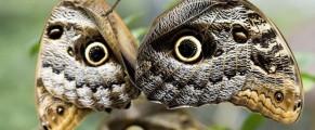 owlbutterfly#2