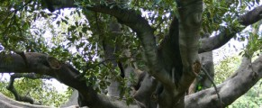 figtree#4