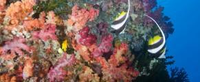 Rainbow Reef, Somosomo Strait, Fiji; a pair of Longfin Bannerfish (Heniochus acuminatus) swim above colorful soft corals and dark green Black Sun Coral (Tubastrea micrantha)