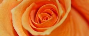 orange-rose#4