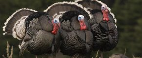 Turkeys#1