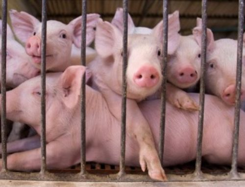 Chinese Scientists Move Closer To Growing Human Organs In Animals